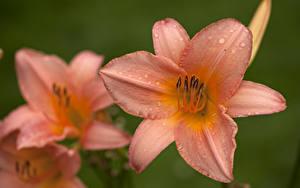 Фотографии Лилии Крупным планом Капли цветок