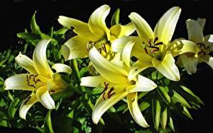 Обои для рабочего стола Лилии Вблизи Желтая Цветы