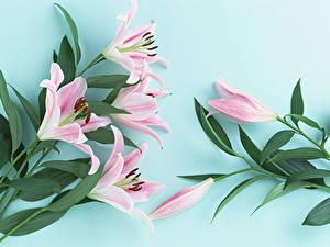 Фото Лилии Розовый Цветной фон Листва Цветы