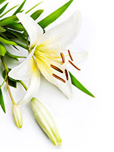 Картинки Лилия Белым фоном Белые Бутон цветок