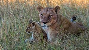 Фотографии Львица Детеныши Трава Взгляд 2 животное