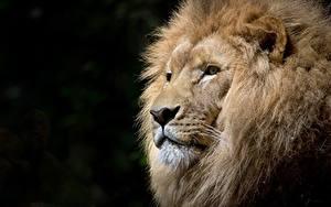 Фотография Лев Вблизи На черном фоне Головы Смотрит Морды животное