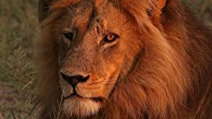 Картинка Лев Крупным планом Морды Смотрит животное
