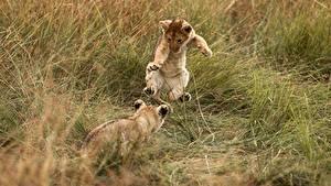Обои Львы Детеныши В прыжке Два Траве Животные