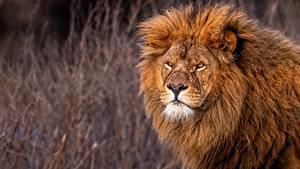 Картинки Львы Смотрит животное