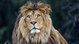 Картинки Львы Взгляд Животные