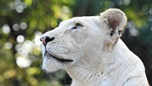 Фотография Лев Львица Голова Белые Смотрит животное