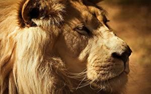 Фото Львы Морда Смотрит Животные