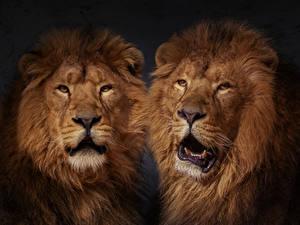 Фотографии Лев 2 Морды животное