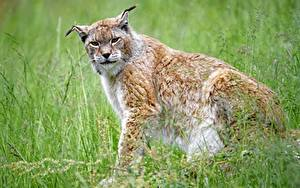Картинка Рыси Трава Взгляд Размытый фон Сидя животное