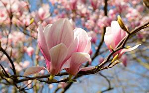 Фотографии Магнолия Весна Вблизи На ветке Розовая Цветы
