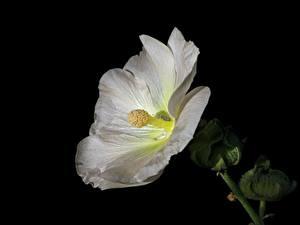 Фотографии Мальва Крупным планом Черный фон Белый цветок