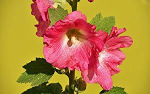 Картинки Мальва Вблизи Цветной фон Розовый цветок Цветы