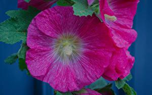 Фотографии Мальва Крупным планом Розовый Цветы