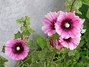 Обои Мальва Вблизи Розовые Цветы