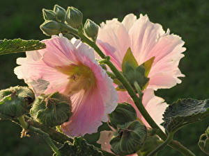 Картинка Мальва Вблизи Розовая Бутон цветок