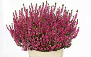 Фотографии Много Белый фон Бордовый Calluna цветок