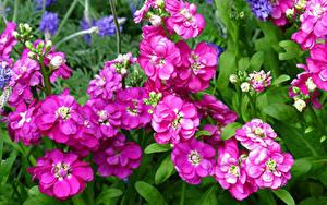 Фотографии Маттиола Крупным планом Розовая цветок