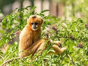 Картинка Обезьяны Ветка Смотрят Yellow-cheeked crested Gibbon животное