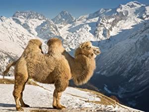 Обои Гора Верблюды Снег Сбоку животное