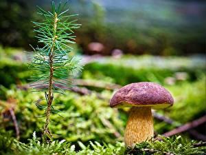 Фотографии Грибы природа Вблизи Мхом На ветке needles porcini Природа