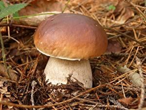 Фотография Грибы природа Вблизи Боровик