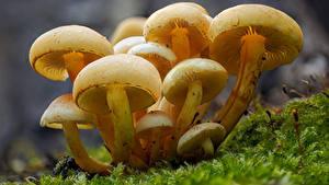 Фотография Грибы природа Вблизи Мха sulphur tufts Природа