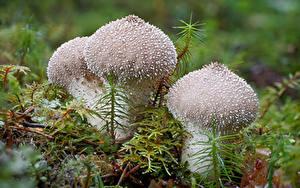 Обои Грибы природа Крупным планом Мох warty puffball Природа