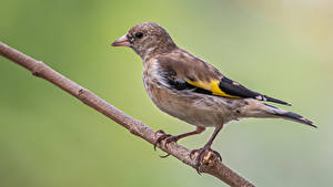 Картинки Птенцы Птицы На ветке Goldfinch животное