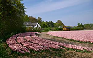 Фото Нидерланды Поля Тюльпаны Много Розовых Egmond Природа Цветы