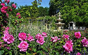 Картинки Нидерланды Парки Розы Скульптуры Кустов Arcen Limburg Природа