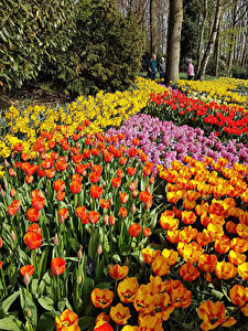 Фото Нидерланды Парки Тюльпаны Много Keukenhof Lisse Цветы