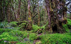 Фотография Новая Зеландия Лес Дерева Взгляд Мха Fiordland Природа