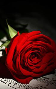Фото Ноты Розы Вблизи Красные