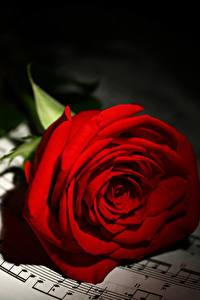 Фото Ноты Розы Вблизи Красные Цветы