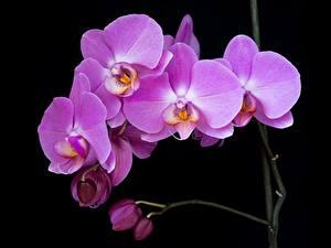 Фотография Орхидея На черном фоне Бутон Фиолетовые Цветы
