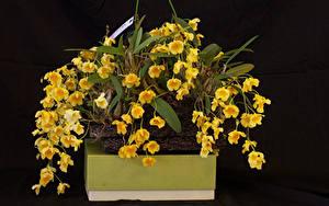 Фотографии Орхидеи Черный фон Желтые Цветы