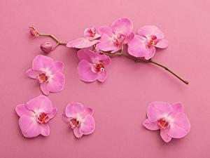 Фотография Орхидея Ветка Лепестки Розовый Цветы