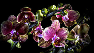 Фото Орхидеи Крупным планом Черный фон цветок
