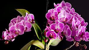 Обои для рабочего стола Орхидеи Вблизи На черном фоне Розовый цветок