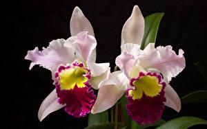 Картинки Орхидеи Вблизи На черном фоне Двое цветок