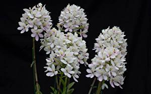 Фотография Орхидеи Вблизи На черном фоне Белый цветок