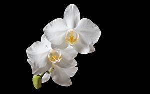 Фотографии Орхидеи Вблизи На черном фоне Белая Цветы
