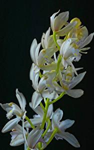 Картинка Орхидея Вблизи Черный фон Белые Цветы
