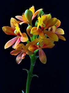 Фото Орхидеи Крупным планом Черный фон Бутон Epidendrum цветок