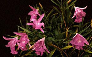 Обои для рабочего стола Орхидея Розовая Sobralia macrantha цветок