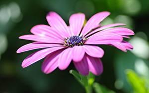 Картинки Остеоспермум Крупным планом Размытый фон Фиолетовых цветок