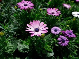Фотографии Остеоспермум Фиолетовый Боке Цветы