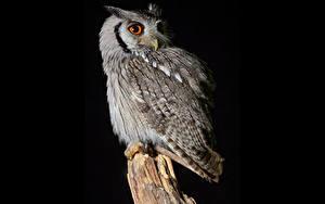 Фотография Совообразные На черном фоне Southern White-Faced Owl животное