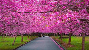 Фотографии Парки Цветущие деревья Аллея Тротуар Сакура Города